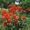 Oriental_poppies